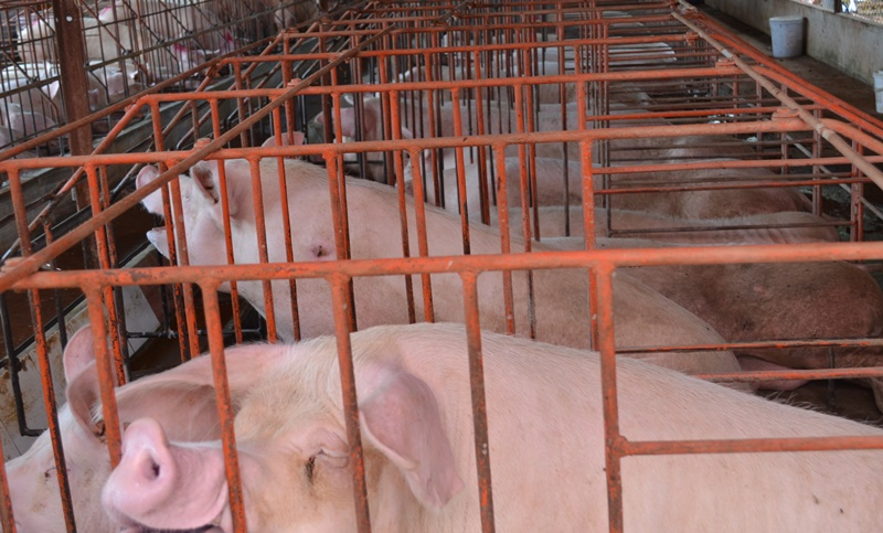 Chăn nuôi heo trong chuồng lạnh, hướng đi mới của người nông dân
